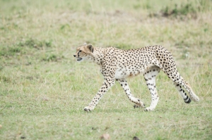 cheetah14